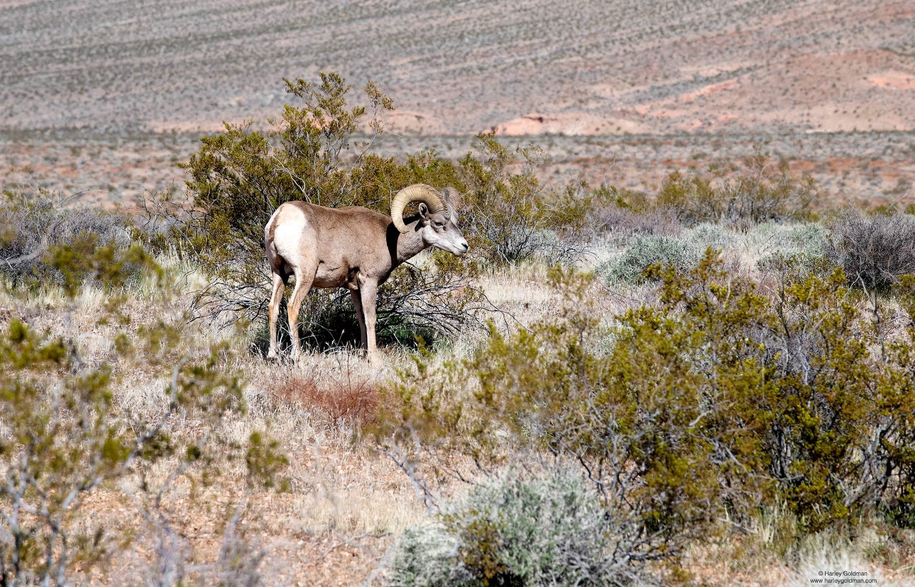 bighorn, nevada, sheep, desert