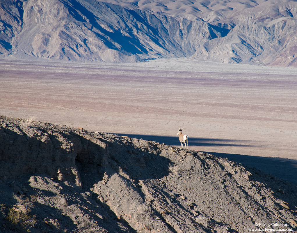 bighorn, sheep, death, valley, national, park, photo