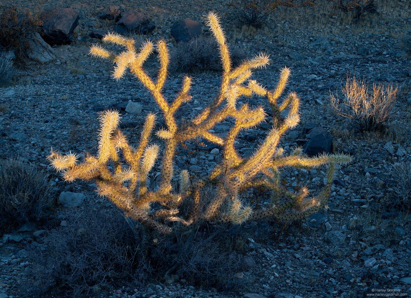 Mojave, National, Preserve, cactus, cholla, sunset, desert