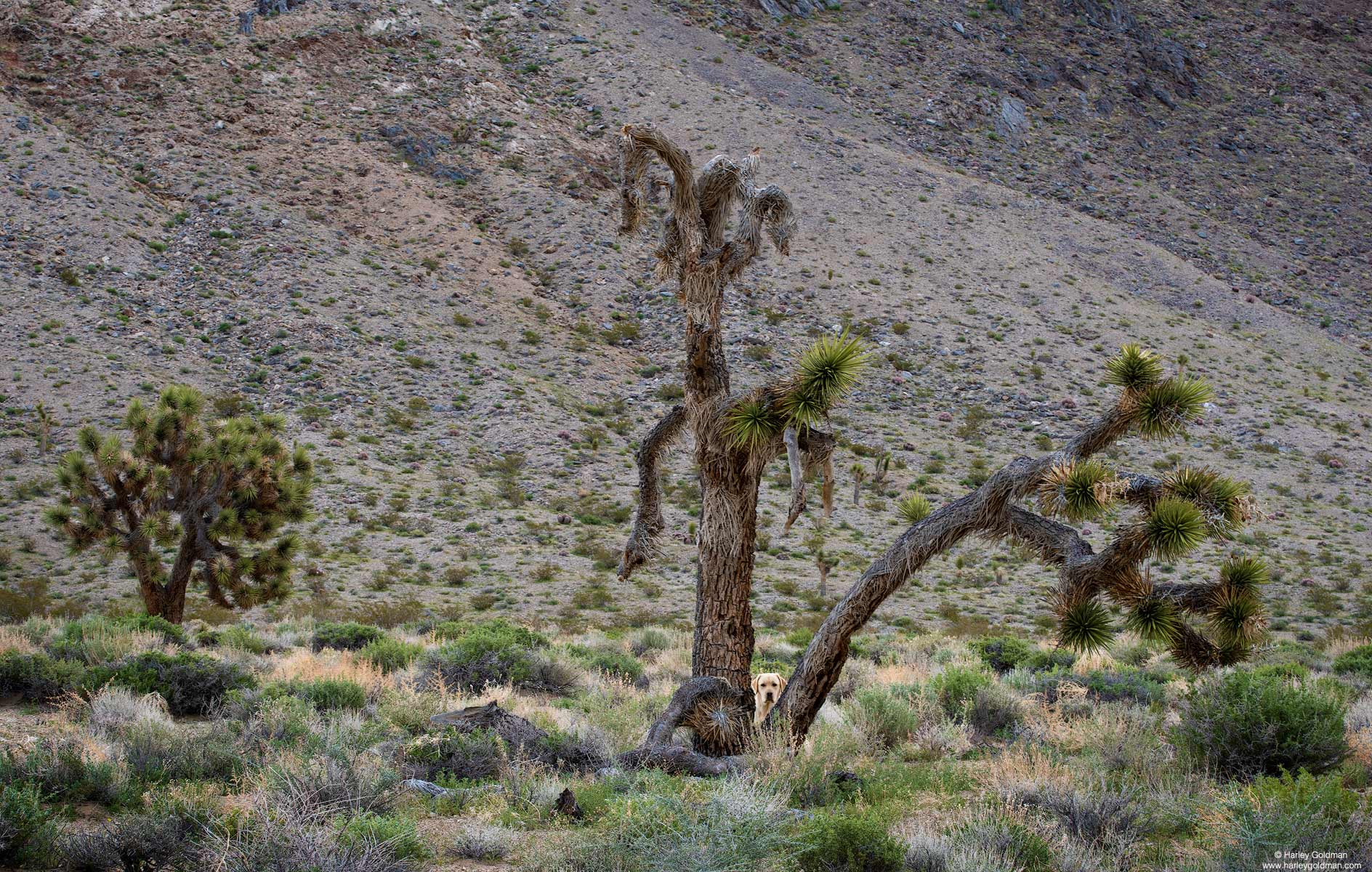 Tioga is peaking out from the joshua tree, just to make sure dad is close enough for her comfort.