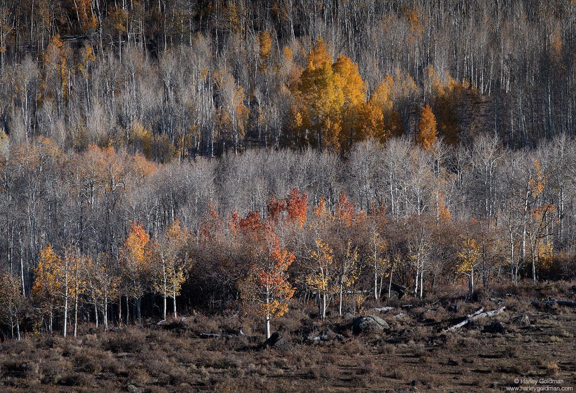 utah, color, fall, autumn, aspen, tree, mountain