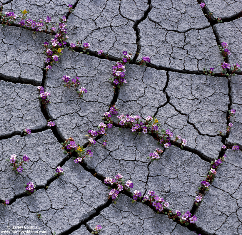 cracked, mud, flower, capitol reef, national, park, photo