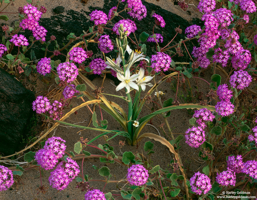 desert, lily, verbena, mojave, national, preserve, california, photo