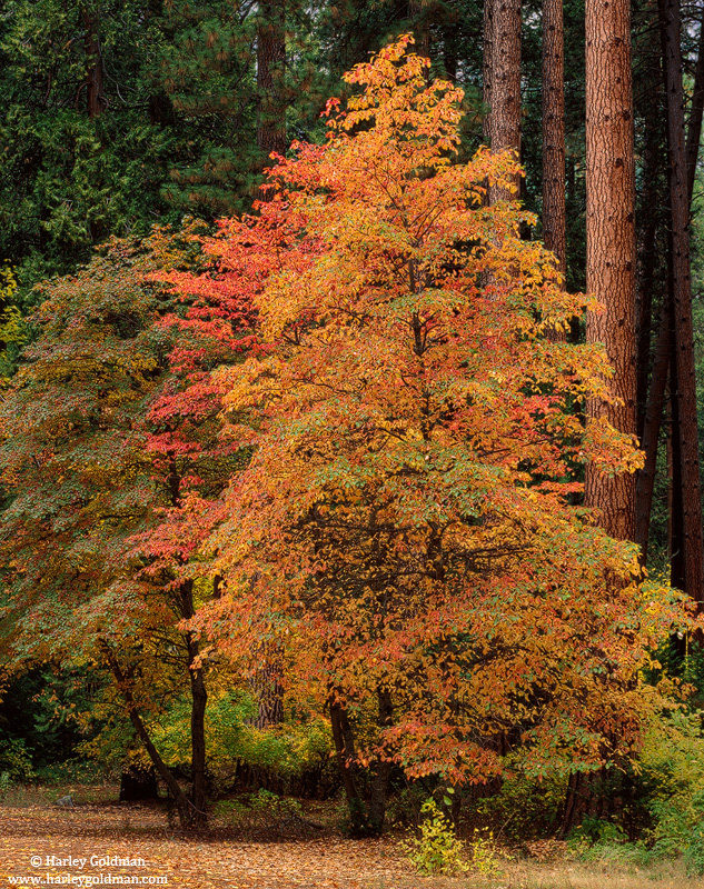 Dogwood, fall, autumn, color, yosemite, national, park, valley, photo