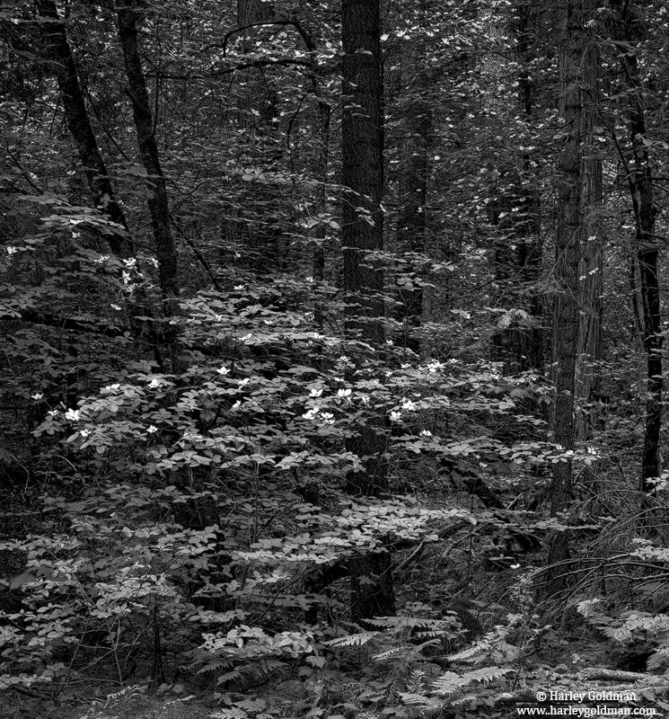 dogwood, forest, yosemite, national, park, photo
