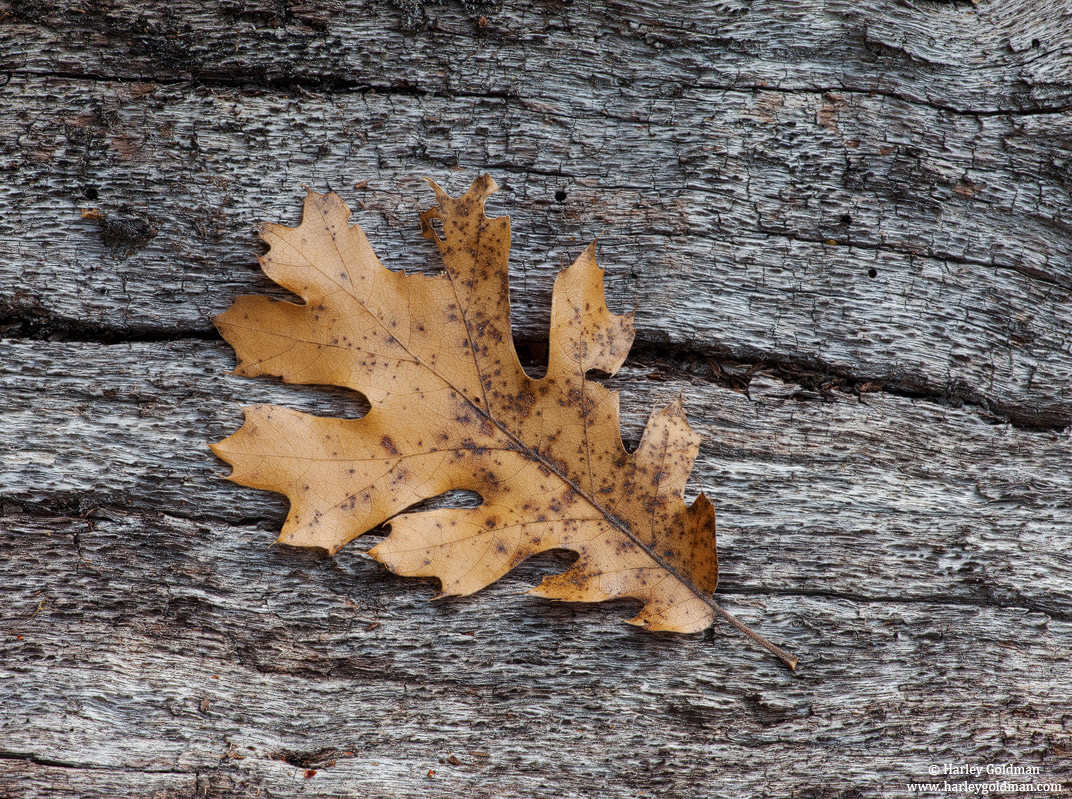 season, end, yosemite, national, park, oak, leaf, photo