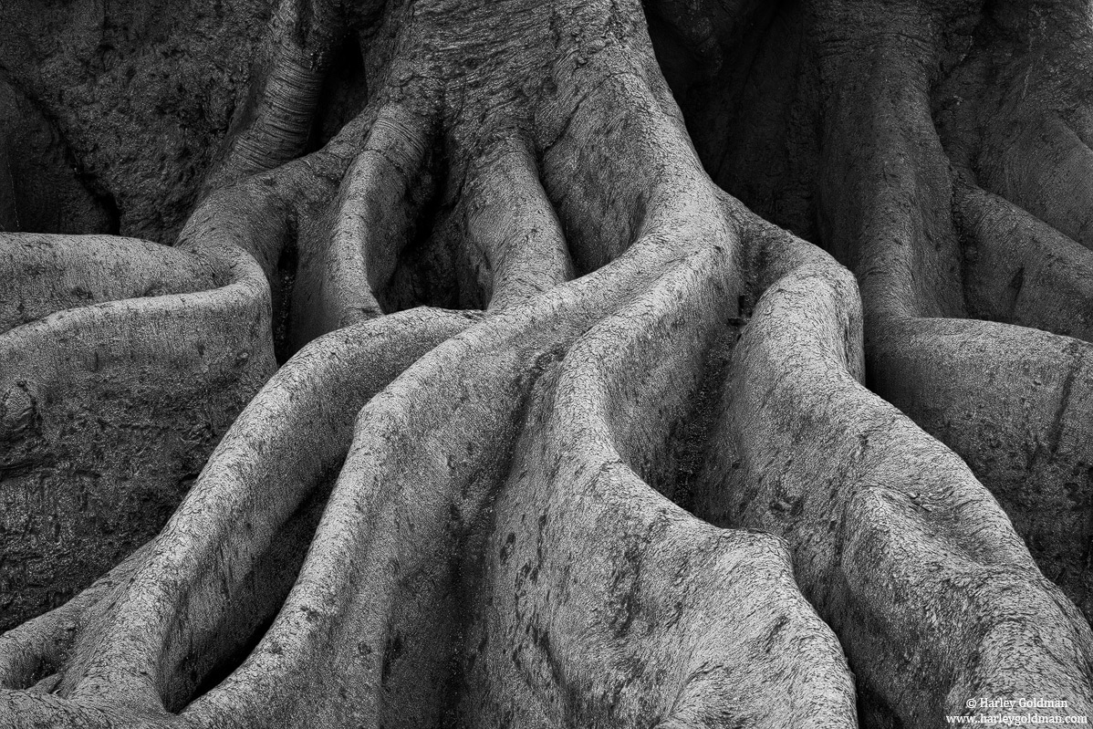 santa barbara, ca, fig, tree, roots, photo