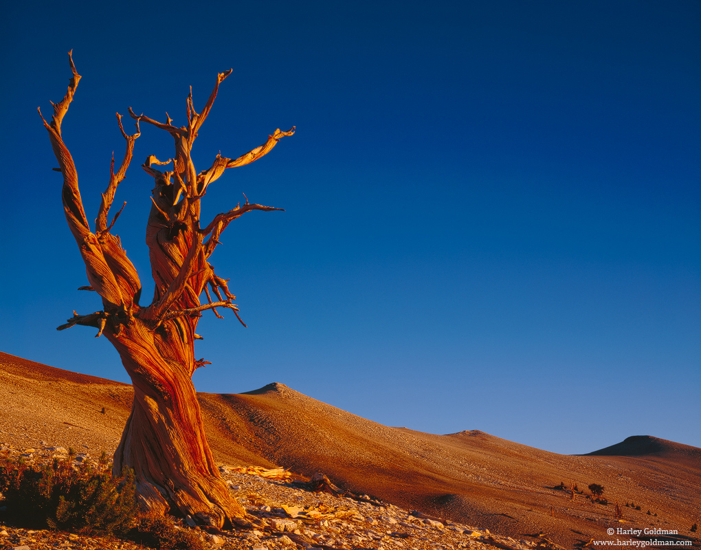 Ancient, Bristlecone, Pine, Forest, White Mountains, CA, photo
