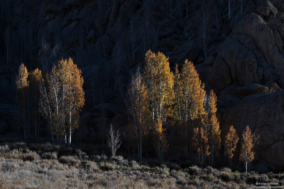 golden, aspen, fall, autumn, tree, grass, sage