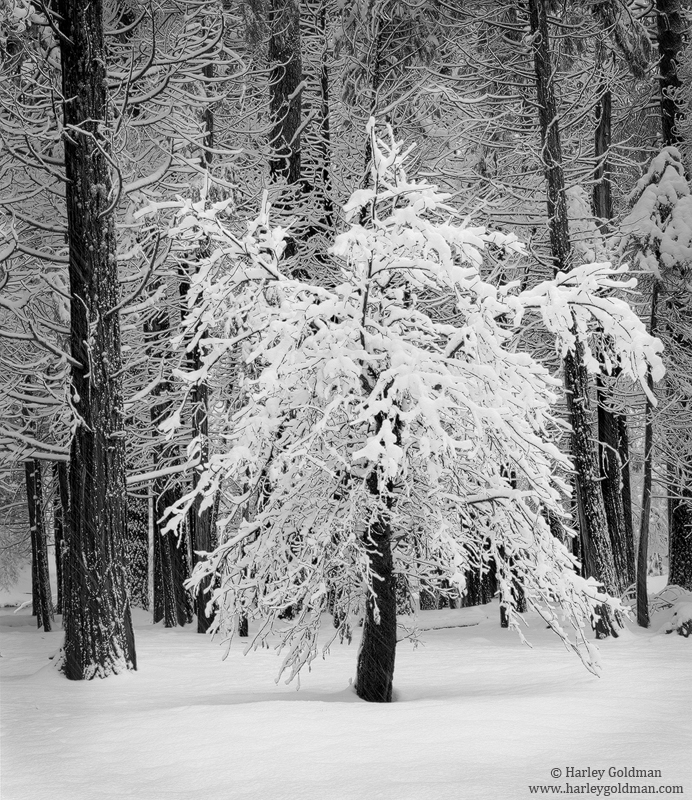 oak, yosemite, valley, snow, pine, national, park, photo
