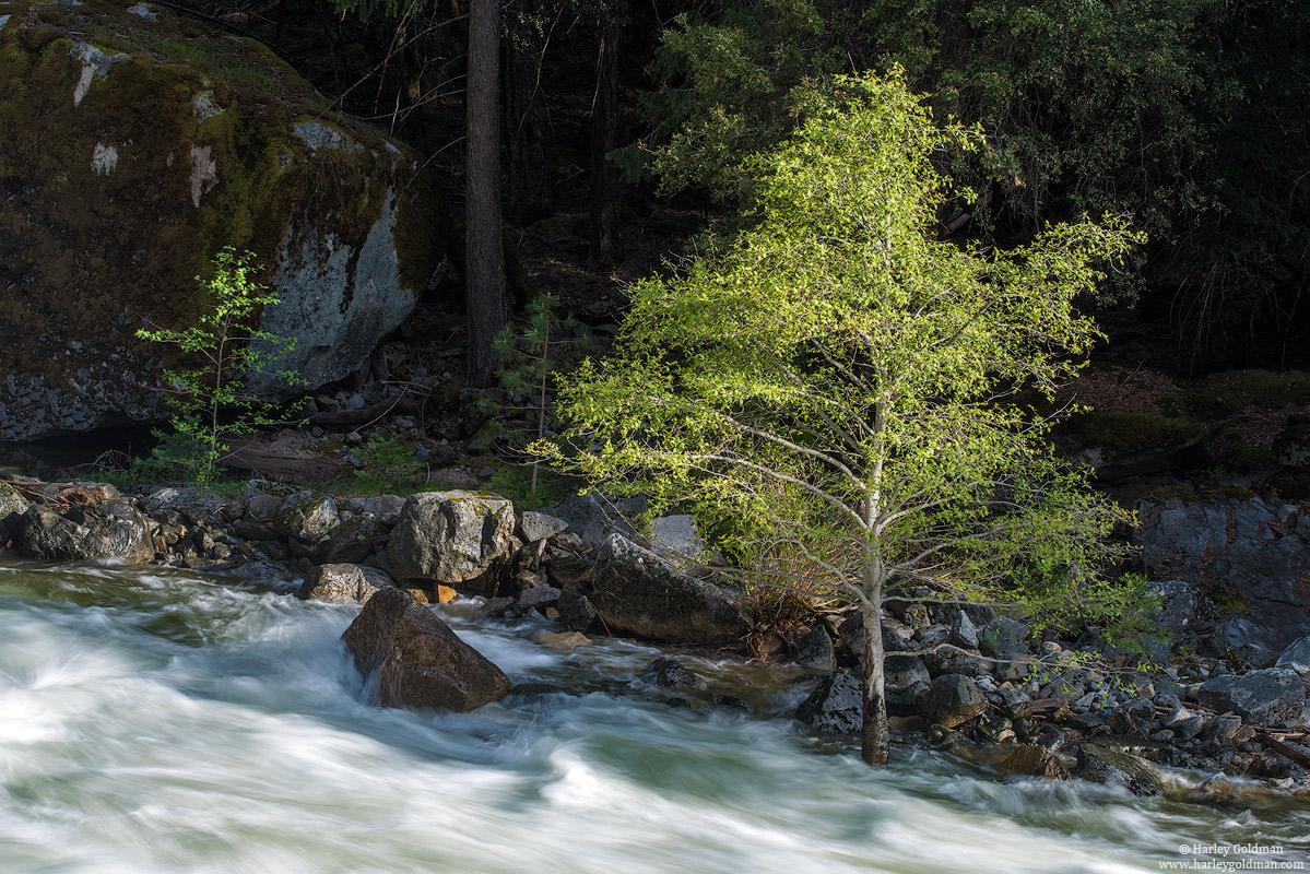 tree, yosemite, national, park, merced, river, spring
