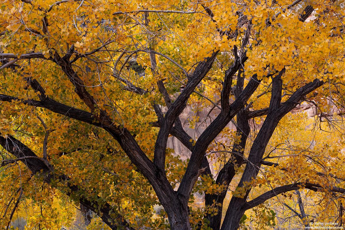 Utah, cottonwood, fall, autumn, trunk, tree