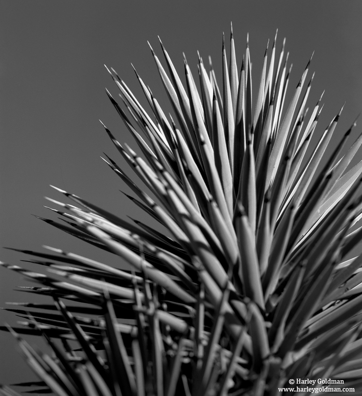 joshua, tree, detail, preserve, national, photo