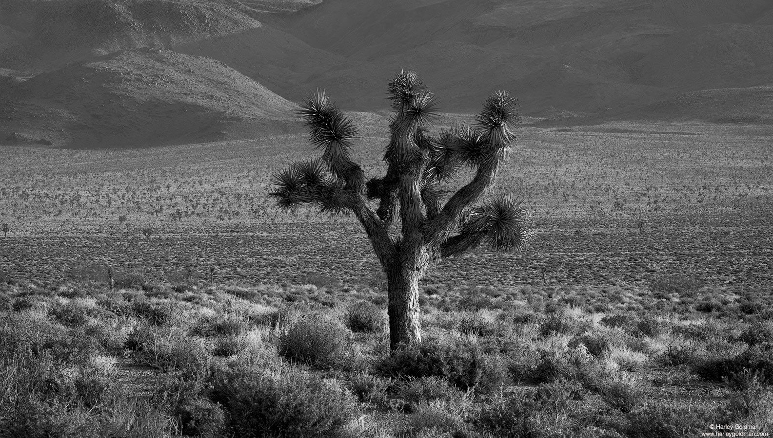 death valley, joshua, tree, forest, desert, mountain, canyon