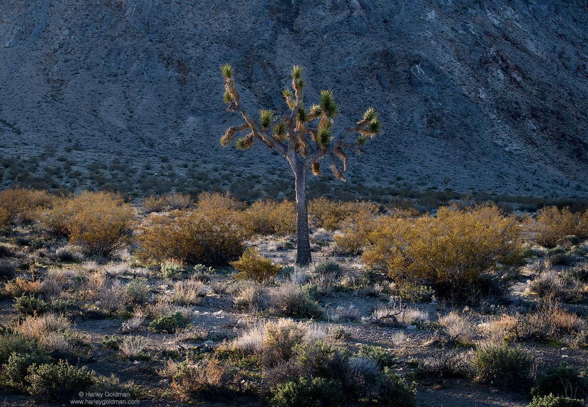 joshua, tree, death valley, desert, sage, creosote
