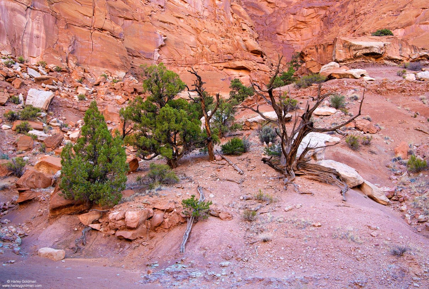 juniper, canyon, Utah. wall, rock, sandstone, boulder, snag