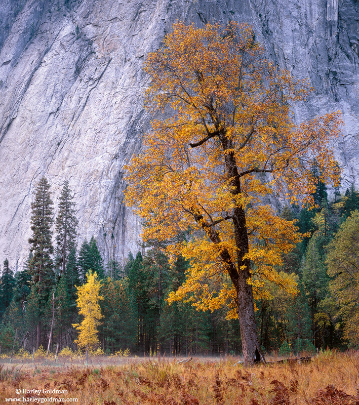 oak, yosemite, valley, park, photo
