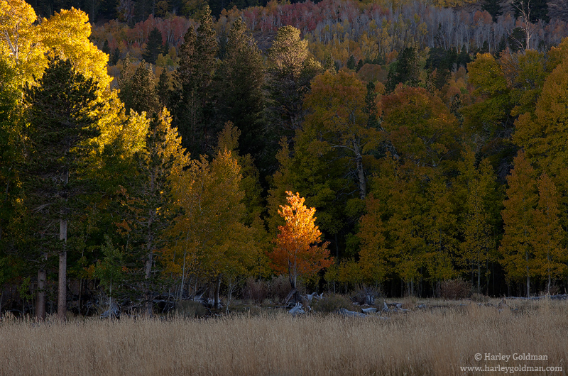 eastern, sierra, aspen, mountain, tree, meadow, photo