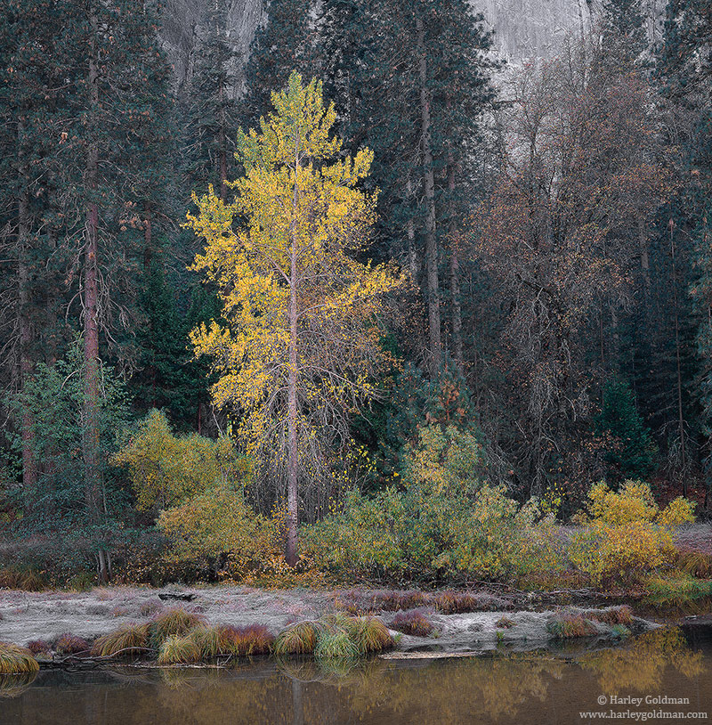 A cottonwood tree shows it fall colors along the shore of the Merced river.