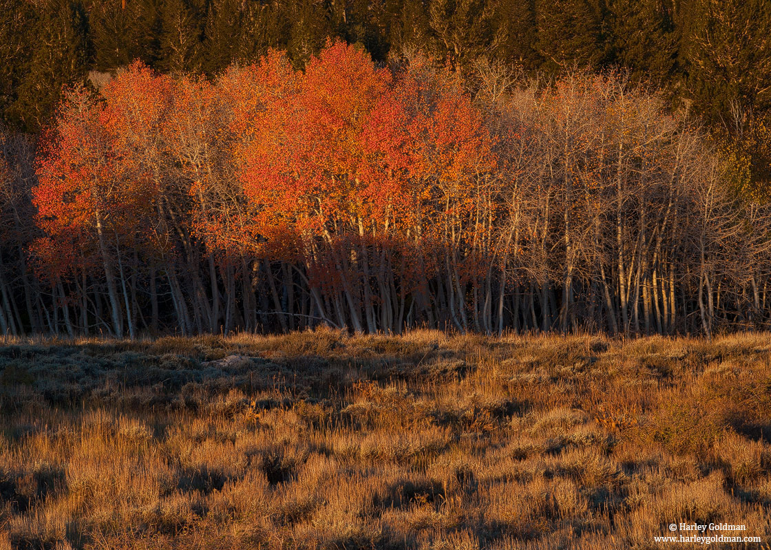 aspen, tree, eastern sierra, nevada, morning, light, mountains, photo