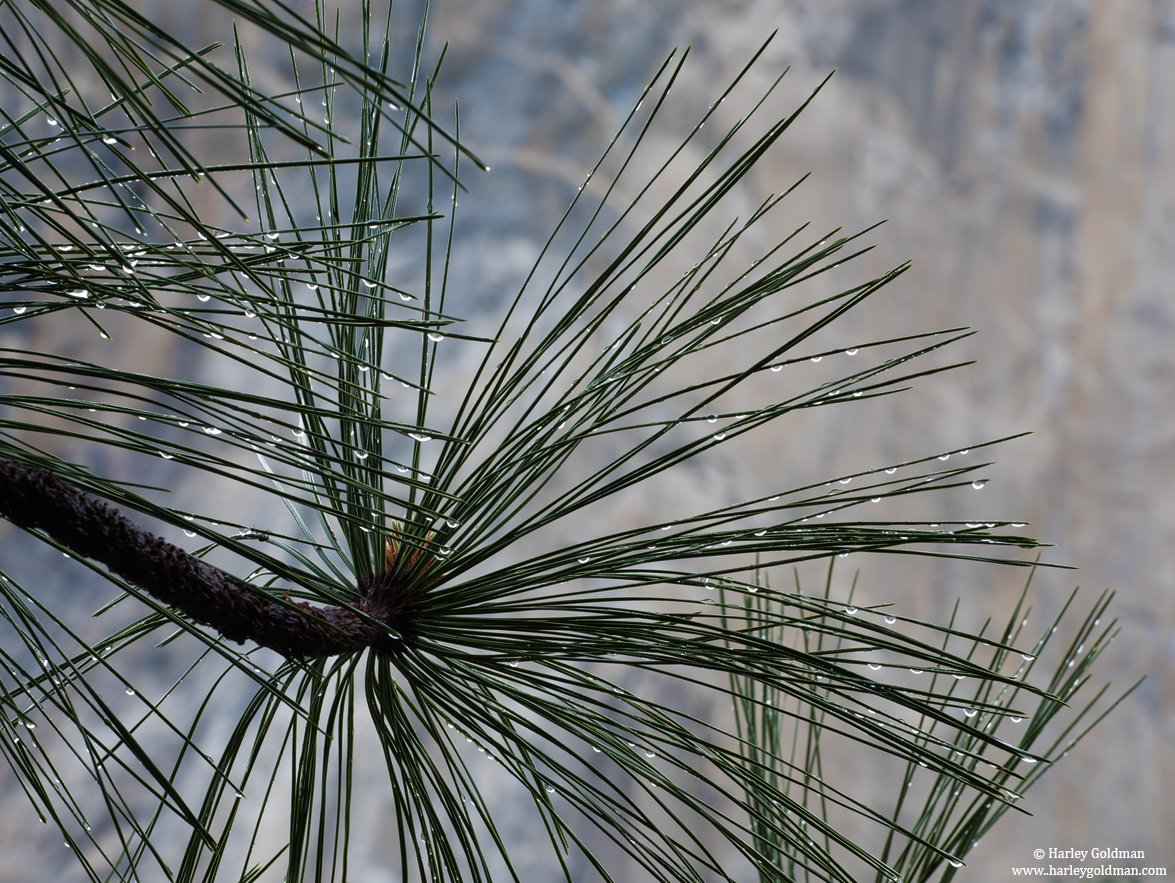 needles, rain, yosemite, park, spring, pine, photo
