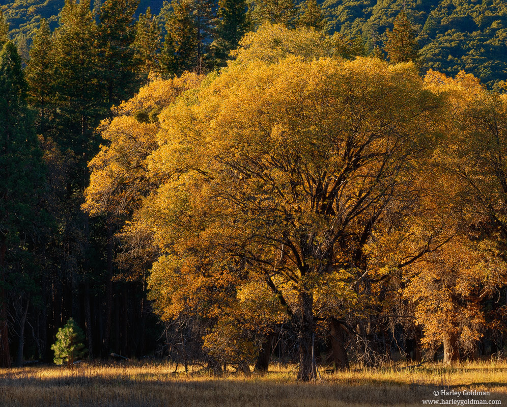 Yosemite, Valley, National Park, oak, meadow, photo