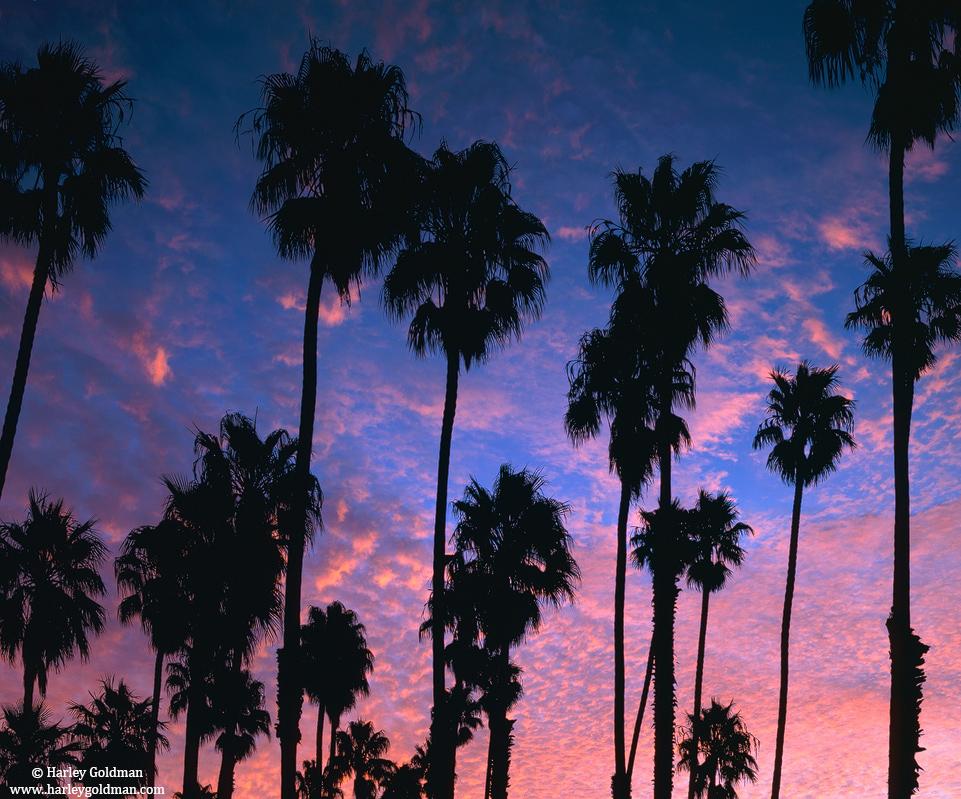 Santa Barbara, California, palm, tree, dawn, photo