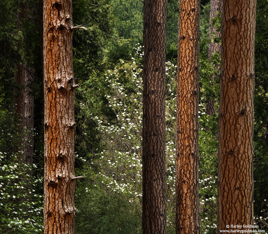 yosemite, dogwood, pine, national park, california, photo