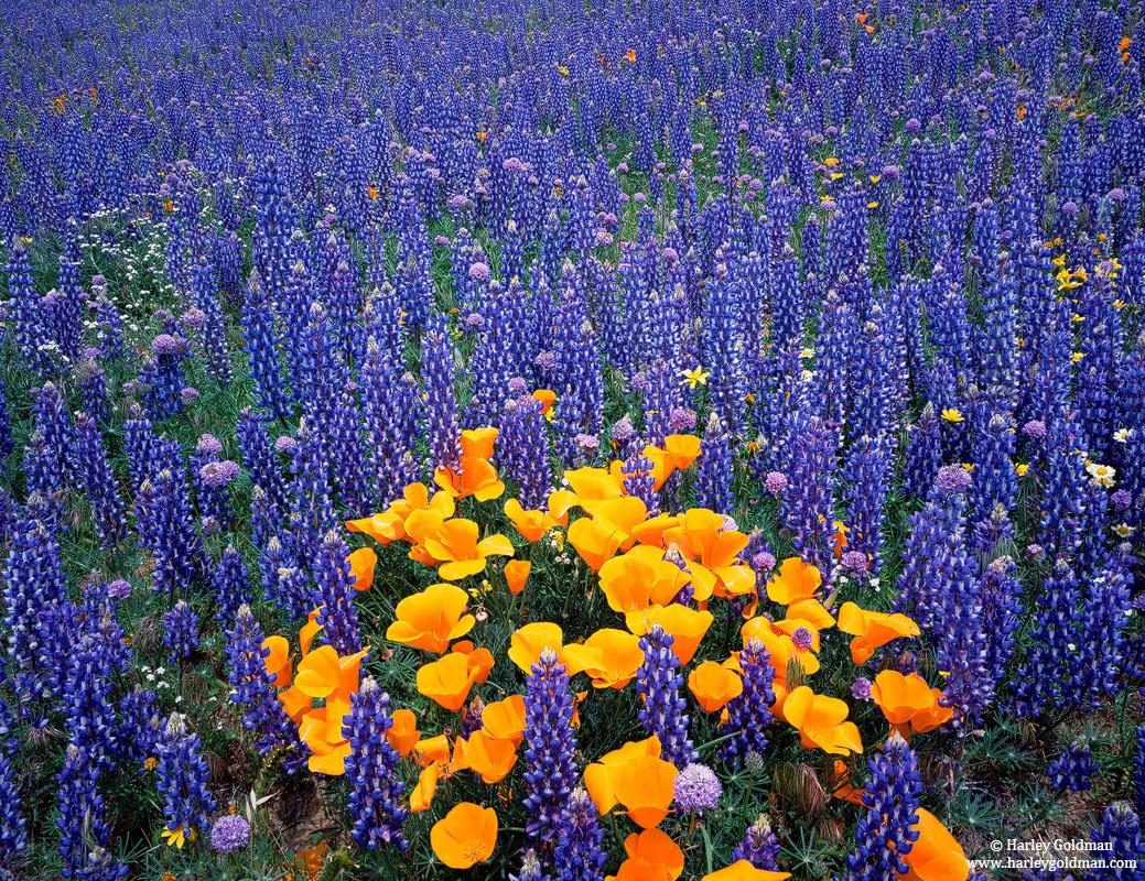 Gorman, California, poppies,lupine, poppy, photo