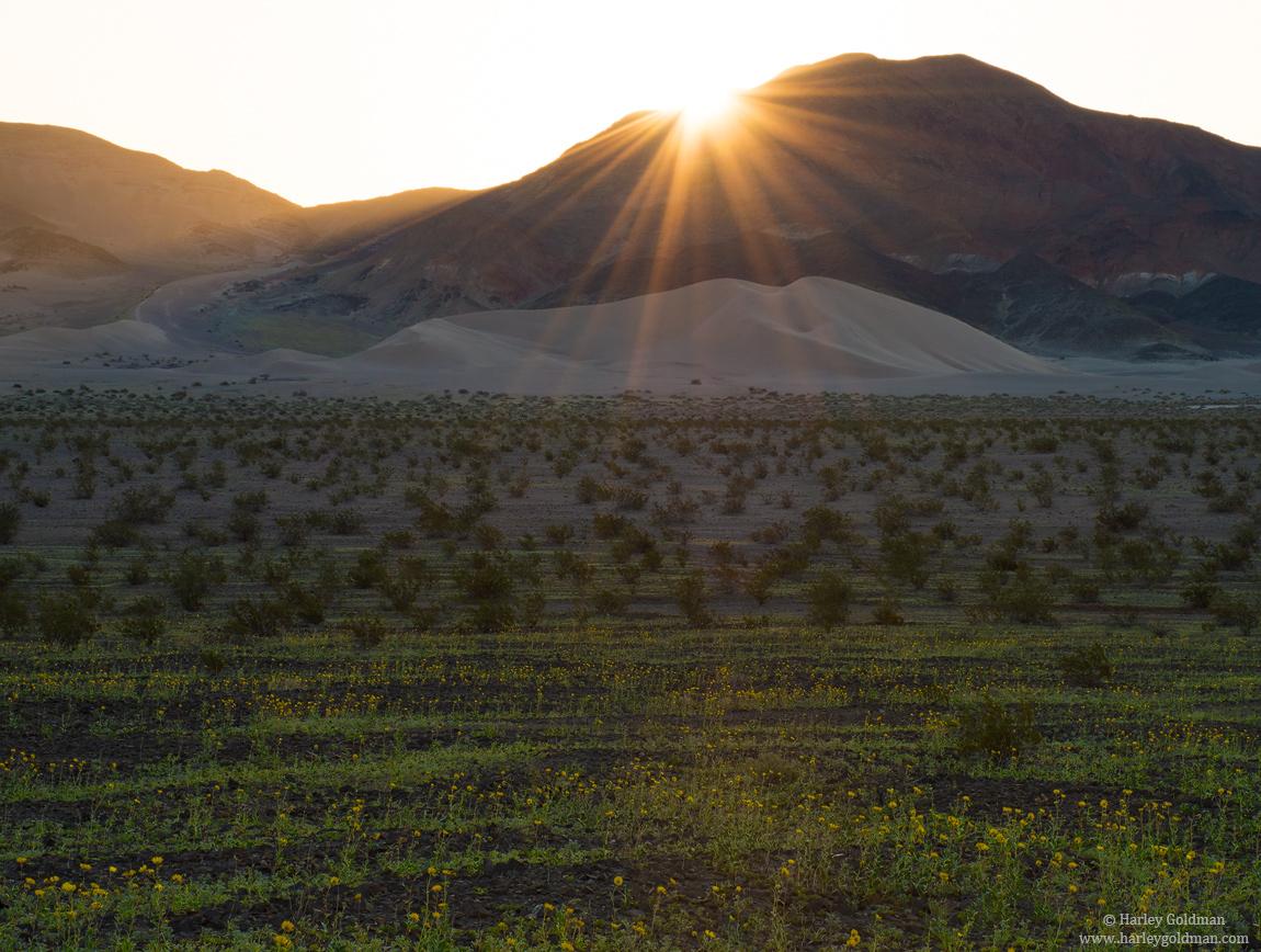 flower, desert, gold, death, valley, photo