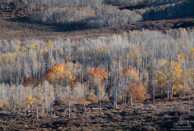 utah, autumn, aspen, tree, mountain, fall, color