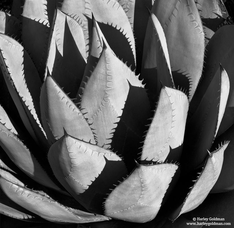 agave, santa, barbara, botanic, garden, photo
