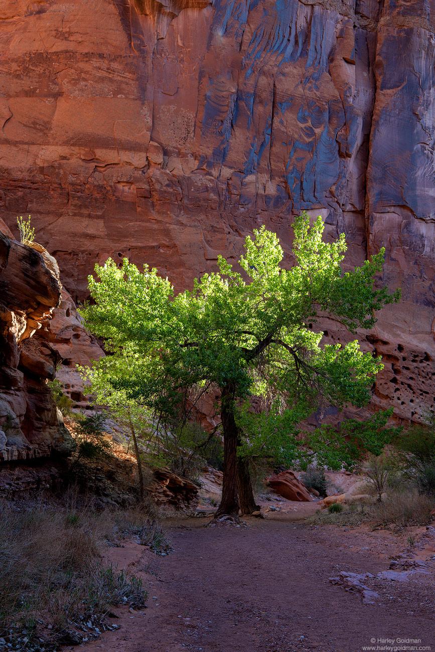 spring, utah, canyon, wall, tree, leaf, leaves, trail