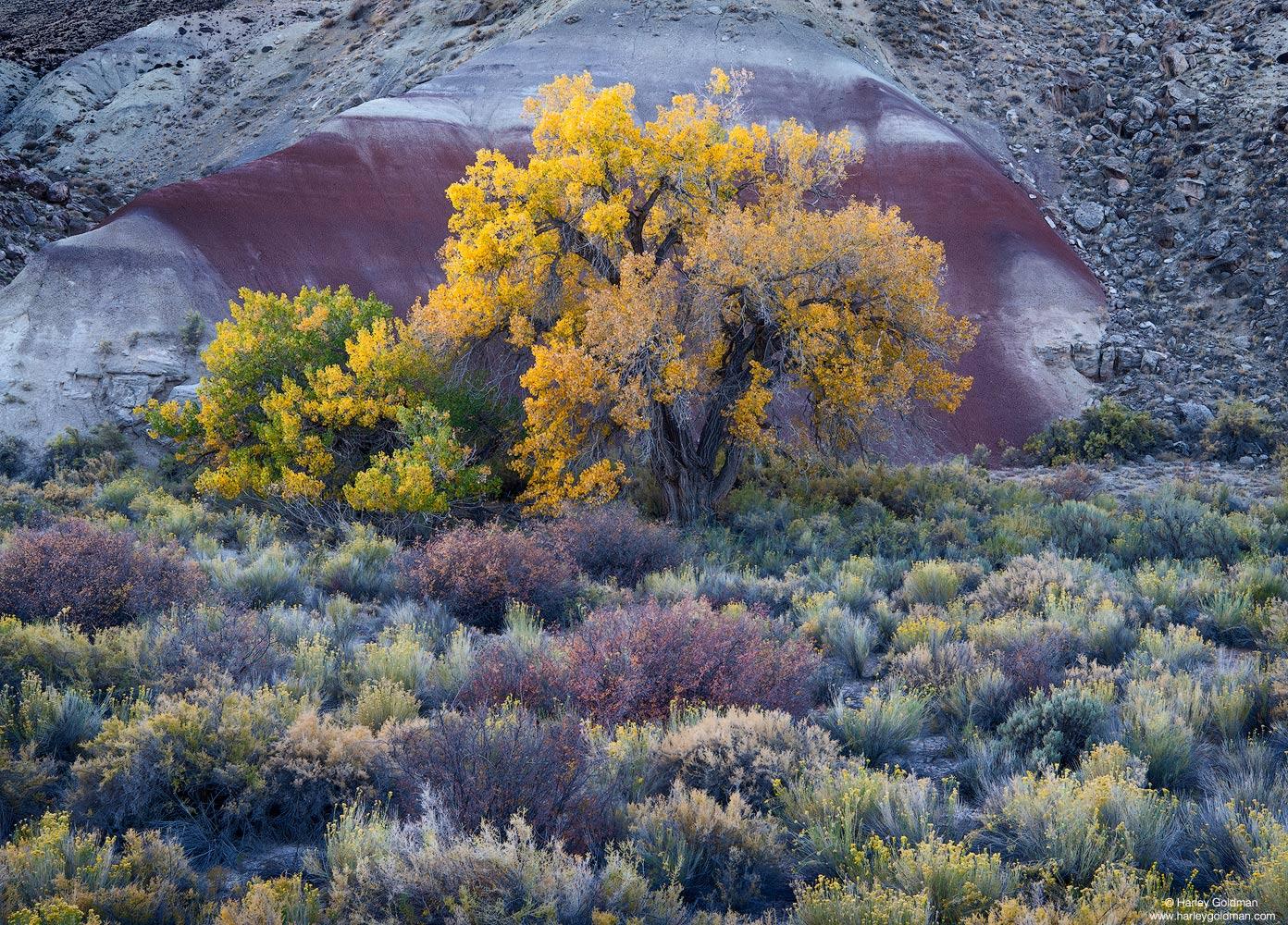 Utah, cottonwood, tree, fall, rabbitbrush, sage, bentonite, autumn, color
