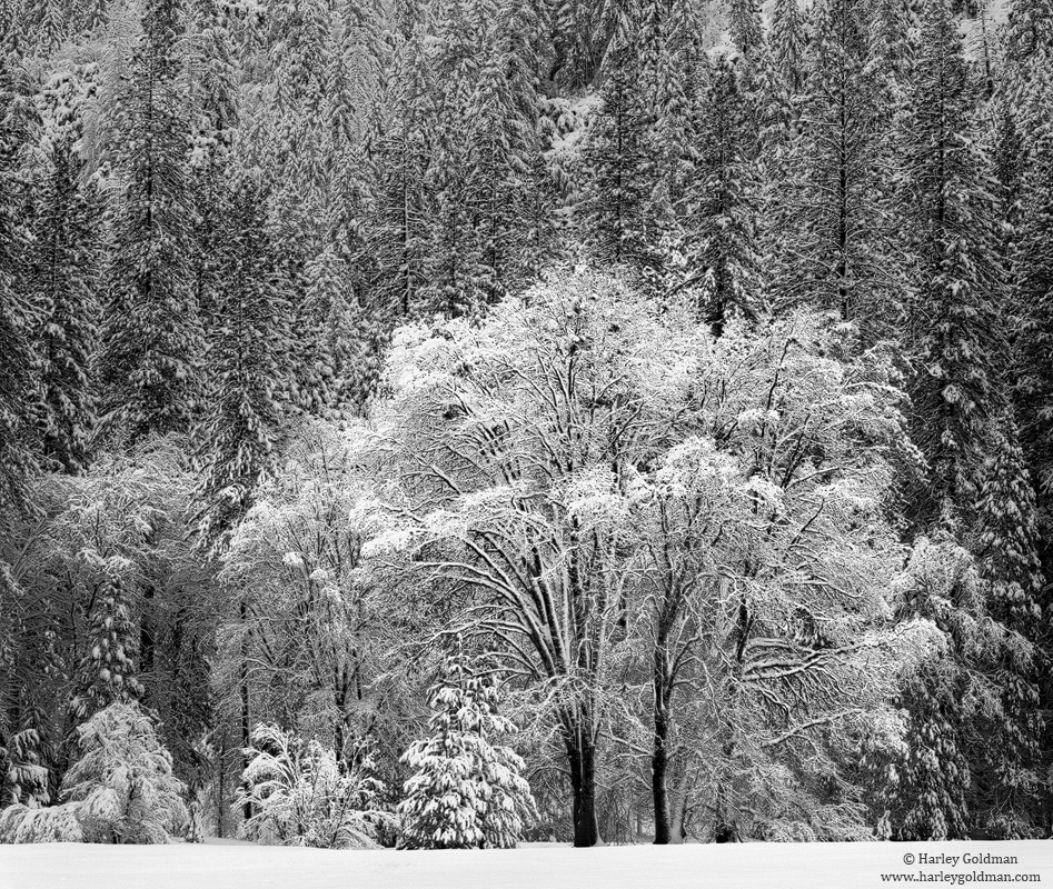 Stoneman, Meadow, Oaks,  Snow, yosemite, valley, national, park, photo