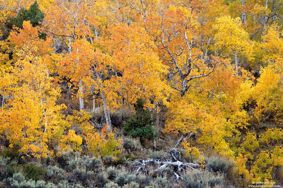 fall, autumn, leaves, color, aspen