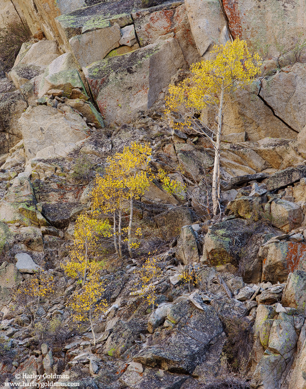 aspen, autumn, eastern sierra, nevada, mountain, ca, photo