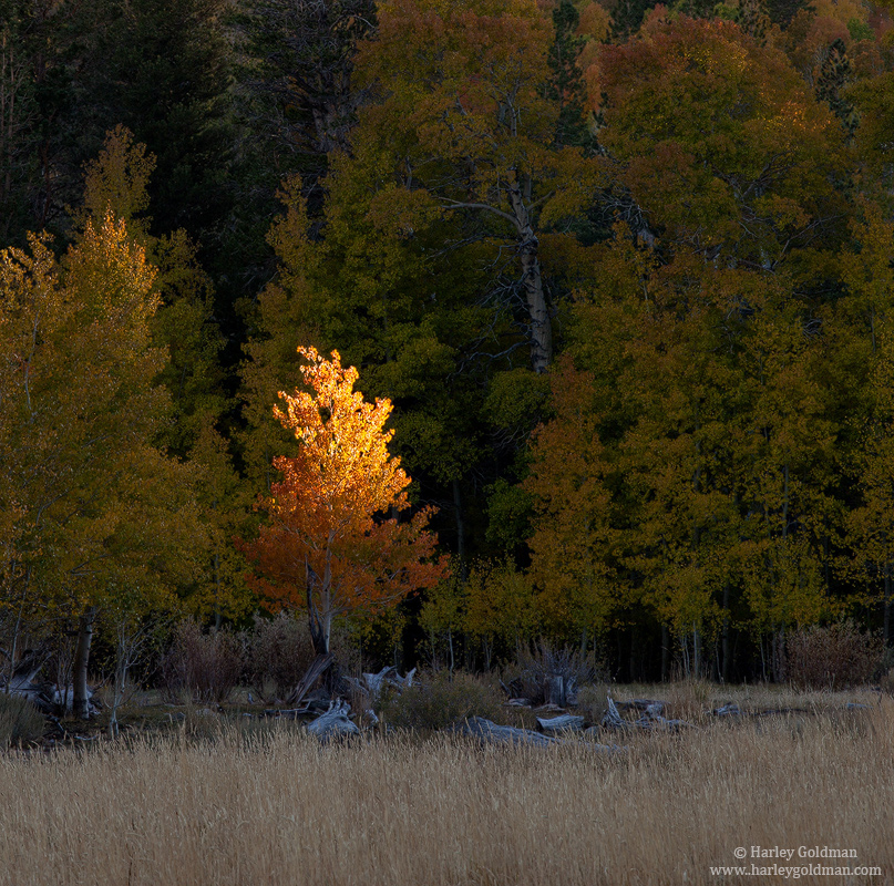 aspen, last, light, eastern, sierra, nevada, photo