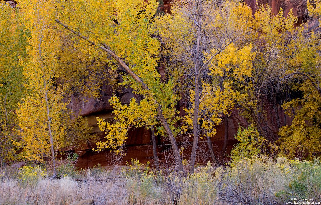 utah, fall, autumn, cottonwood, canyon, rabbitbrush, sage, sandstone