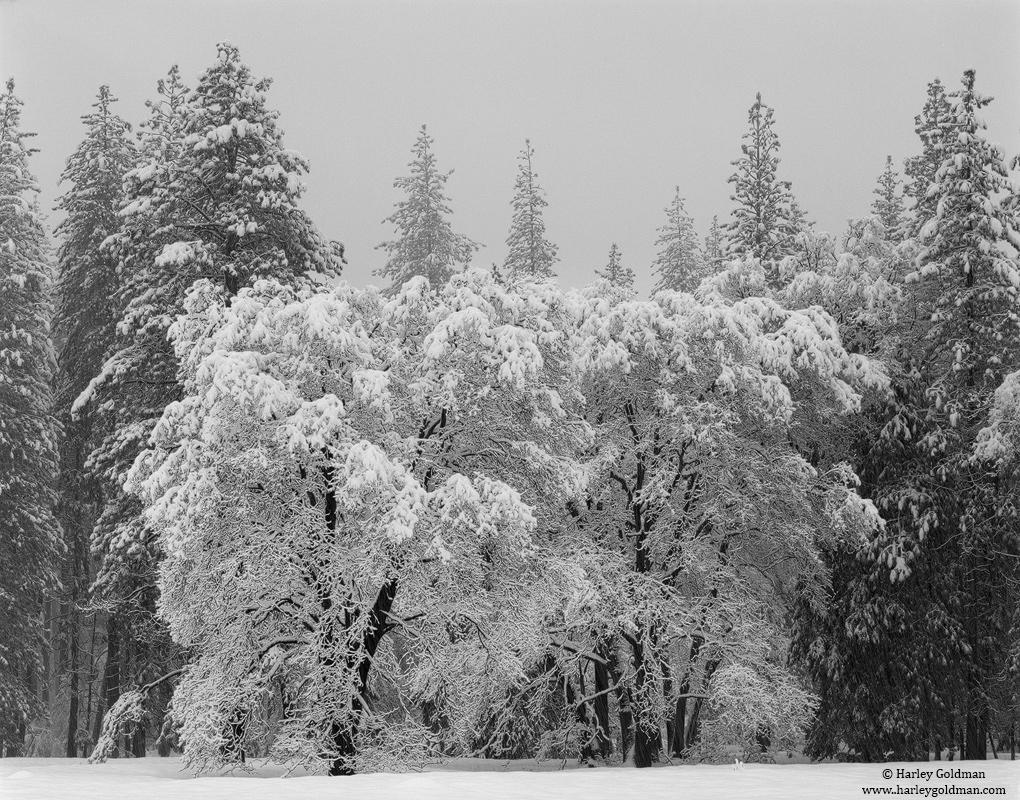 oak, yosemite, national, park, winter, photo