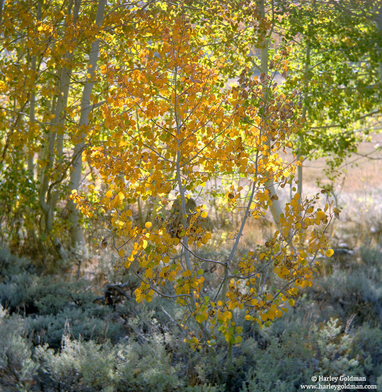 sierra, nevada, mountain, yellow, aspen, photo